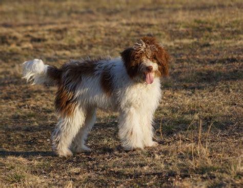 border doodle puppies for sale australia border shepherd puppies for sale breeds picture