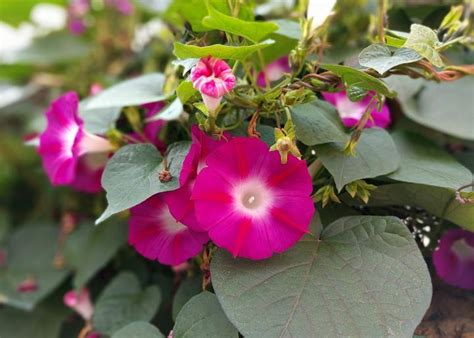 morning glories   plant grow  care  morning