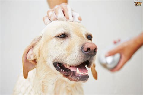 when to bathe a puppy where to bathe your pets4homes