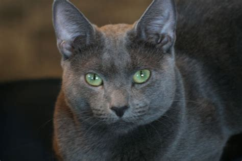 russian breeds russian blue cat breed information pictures auto design tech