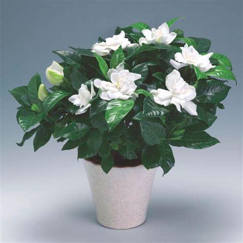 gardenia indoors gardenia jasminoides  garden life