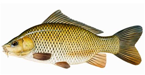 Pakan Ikan Gurame komunitas penyuluh perikanan formulasi pakan ikan