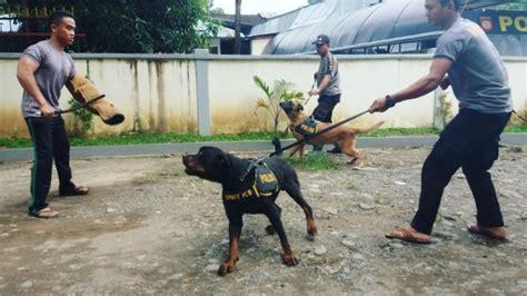 Pelatih Anjing tengok cara melatih anjing k 9 polda sulawesi selatan tribunnews