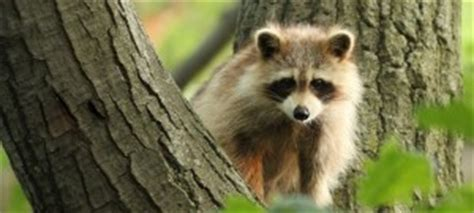 Raccoon Trapping Getting Rid Of Raccoons How To Get Rid Of Raccoons In Your Backyard