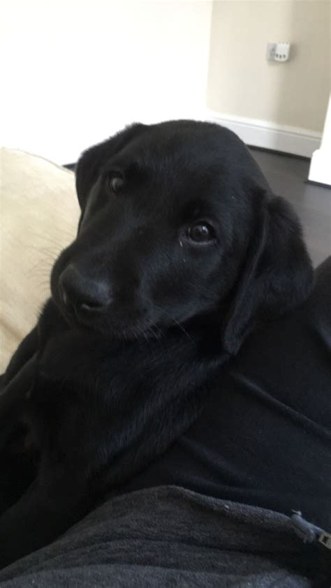 8 week lab puppy 8 week puppy labrador for sale liverpool merseyside pets4homes