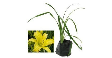 jual tanaman daylily kuning lemon hp