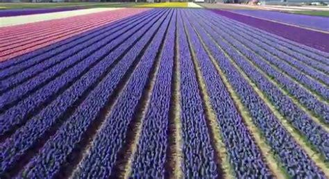 fiori olanda lo spettacolo dei fiori olandesi