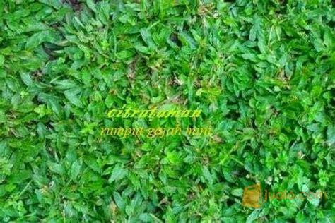 Bibit Rumput Jepang tukang rumput gajah mini rumput jepang rumput golf