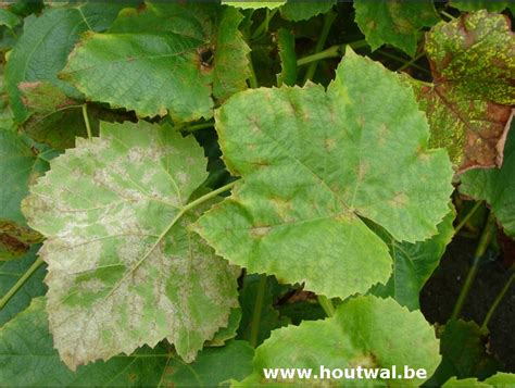 Hortensia Witte Schimmel by Inheems En Uitheems Fruit Valse Meeldauw Op Druiven Bij