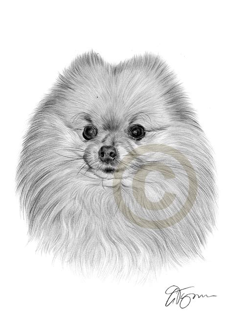 pomeranian drawing pencil drawing of a pomeranian by artist gary tymon