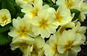 primrose petals and wings
