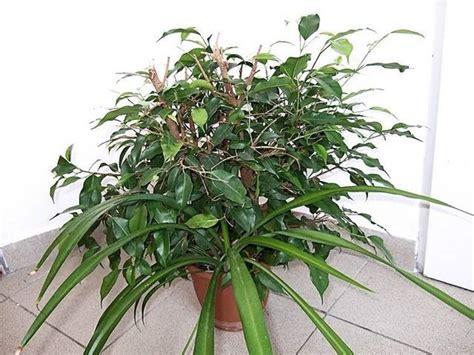 malattie piante appartamento ficus benjamin perde foglie malattie piante appartamento