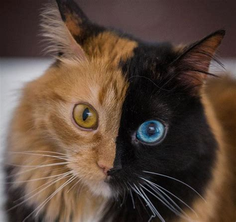 quimera the cat has two completely different sides to
