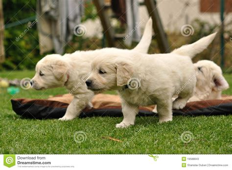 golden retriever garden golden retriever puppies in garden stock photos image 19588843