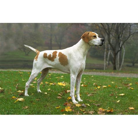 pointers dogs pointer breeds