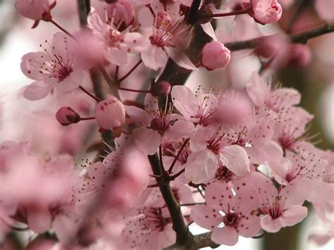 fiori ciliegio fiori ciliegio fiori delle piante