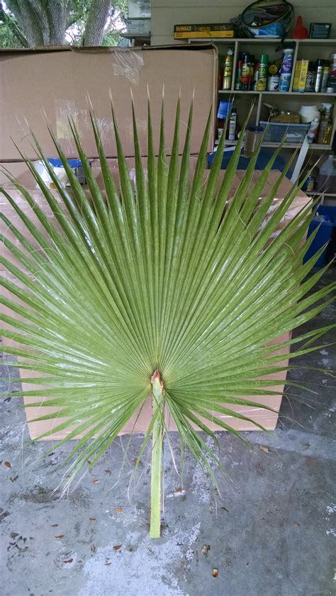 palm tree fan blades fan palm fronds hardy palm tree farm