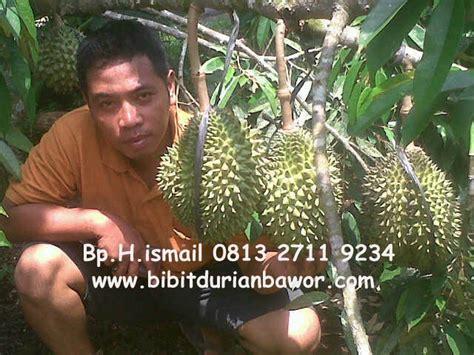Bibit Mangga Mahatir Jogja bibit durian bawor bibit durian bhineka bawor durian
