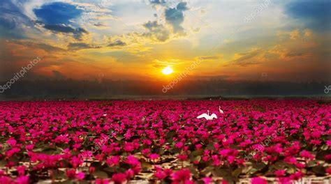 fiori thailandesi rising lotus flower in thailand stock photo