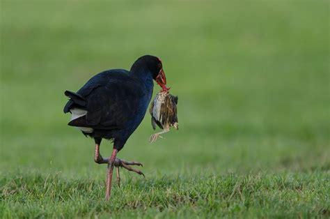 pukeko new zealand birds online