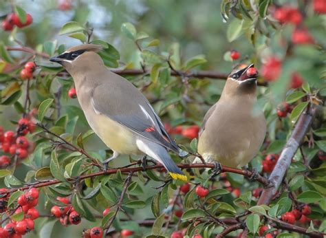 cedar waxwing facts habitat diet life cycle baby pictures
