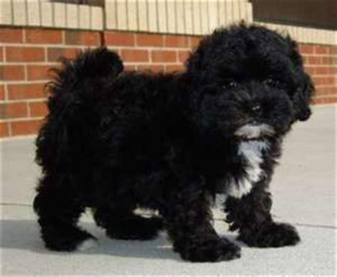lhasa poo lhasa poo puppy dawgs