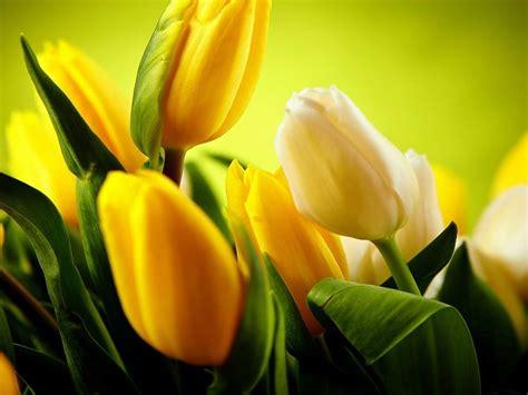 imagenes para fondo de pantalla de tulipanes tulipanes amarillos flores wallpaper fondos de pantalla gratis