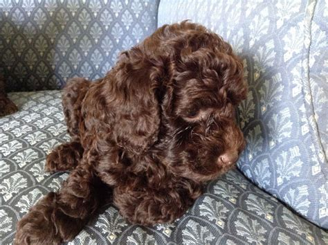 chocolate poodle puppies for sale chocolate poodle puppies ready on saturday