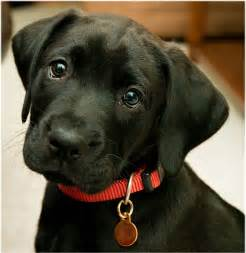 small lab cute small labrador images amp pictures becuo