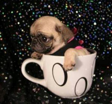 pug cup cup pug pugs
