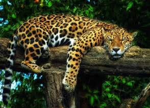 Jaguar Is From Which Country National Animals Of Countries Photos Animals Zone