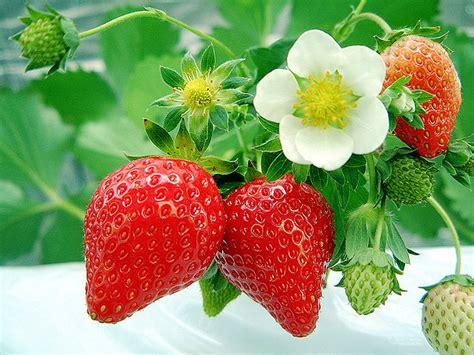 mengenal tanaman stroberi buah merah cantik  segar