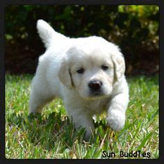 golden retriever puppies new hshire 1000 images about golden retrievers on