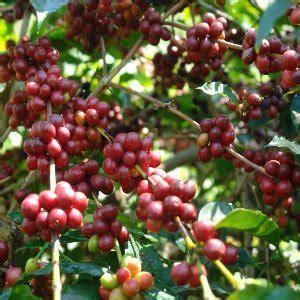 Pupuk Paket Tanaman Kopi jual paket pupuk organik kebun kopi 1000 m2 bonus di lapak produk nasa