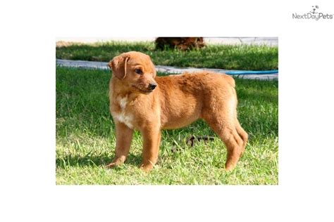 golden retriever puppies for sale orange county ca labrador retriever puppy for sale near orange county california 7fc5fcac a7a1