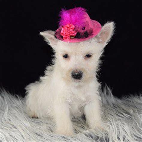 puppies for sale in nj 200 westie puppy for sale koko puppies for sale in pa nj dc de