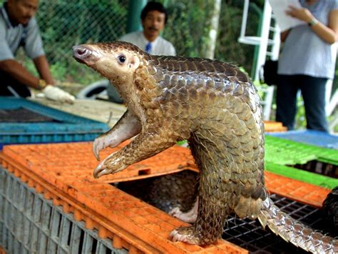Protection For Weirdest Species by Pangolins Endangered Species Votes To Protect Mammal