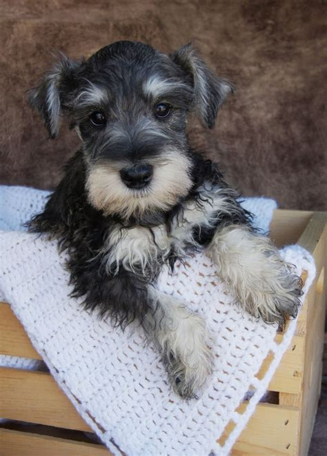 black and silver giant schnauzer puppies black and silver mini schnauzer pictures to pin on