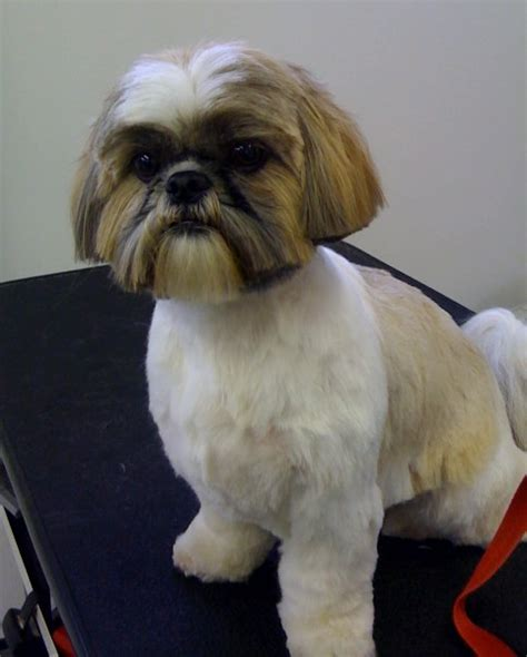 trimmed shih tzu shih tzu teddy cut images