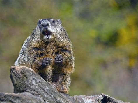 groundhog day how how groundhog day got started
