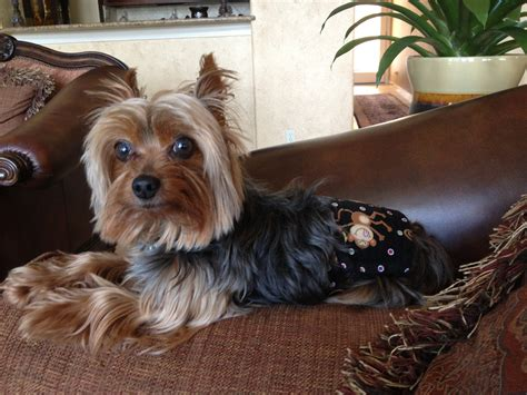 how big is a yorkies stomach happy birthday yorkie breeds picture