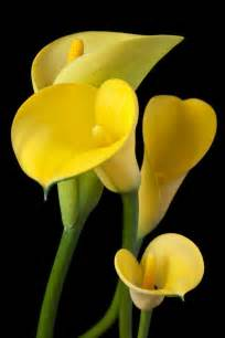 yellow lilies four yellow calla lilies by garry