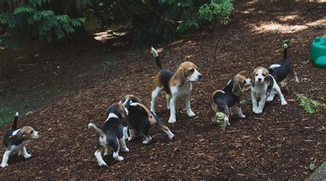 beagle puppies seattle beagle puppies are 9 weeks akc woodinville seattle kazuri