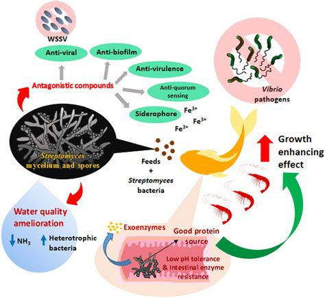 health advantages of micro organism in the giant frontiers streptomyces bacteria as potential probiotics