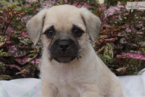 pugapoo puppies pugapoo puppy for sale near philadelphia pennsylvania d1bd2785 76b1