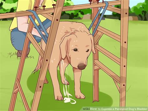how can a puppy hold its bladder 4 ways to express a paralyzed s bladder wikihow