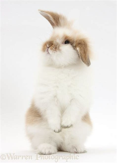 best bunny 25 best ideas about rabbits on pet bunny