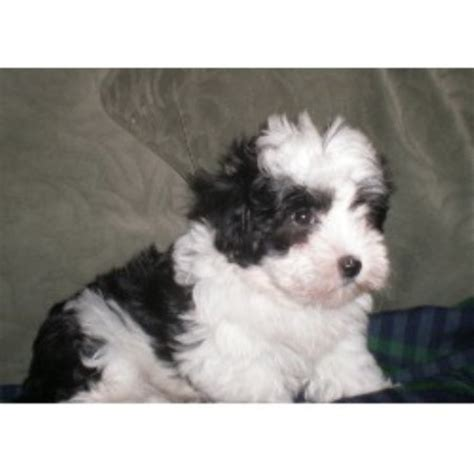 havanese breeders in ny nyc havanese havanese breeder in woodhaven new york listing id 10154