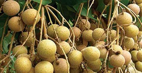 Bibit Kelengkeng Yogyakarta agrowisata kelengkeng manis dikembangkan di kulonprogo