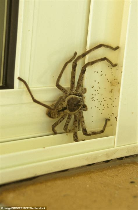 huntsman spider pictured trying to sneak into a house